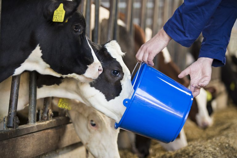 Calve drinking milk out of a blue bucket